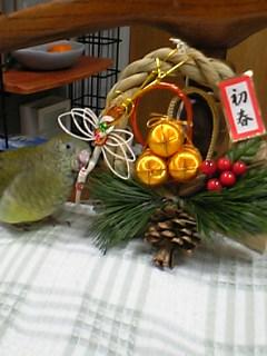 ビセイインコとお正月飾り